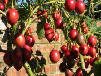Цифомандра свекольная, Томатное дерево, семена
