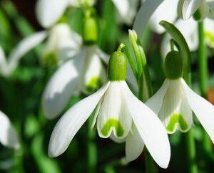 Подснежник белоснежный, садовая форма