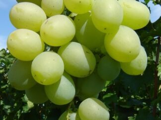 Виноград 'Талісман'