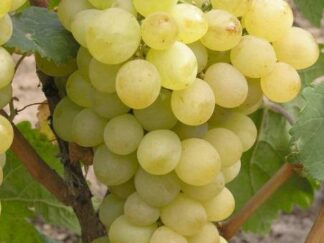 Виноград 'Русбол'