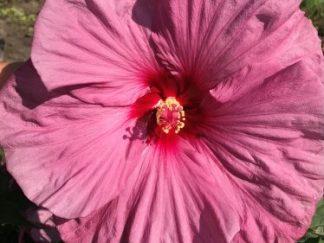 Гибискус болотный 'Berrylicious'