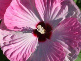 Гибискус болотный 'Luna Pink Swirl'