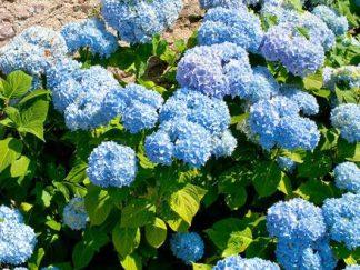 Гортензия крупнолистая 'Nikko Blue'