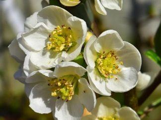Айва японская (хеномелес) 'Nivalis', семена